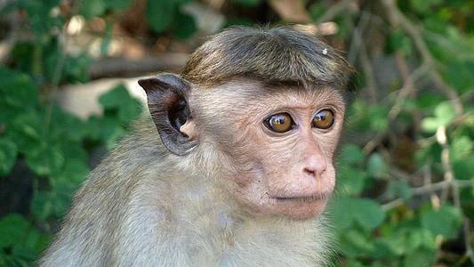 Monkey, makake, Srí lanka