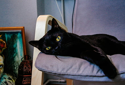 black cat, animals, cats, domestic Cat, pets, animal