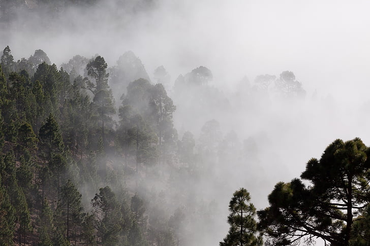 boira, contorns, Pi, arbres, misteriós, paisatge, invisible