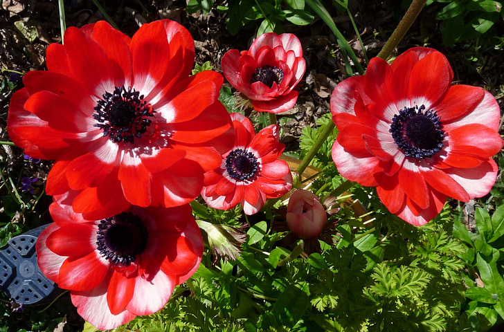 Free photo: anemone, flowers, red   Hippopx