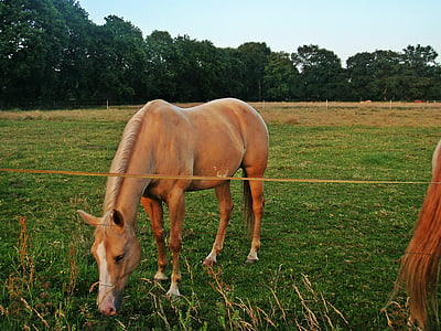 horse, coupling, morning sun, pasture, graze, riding, eat