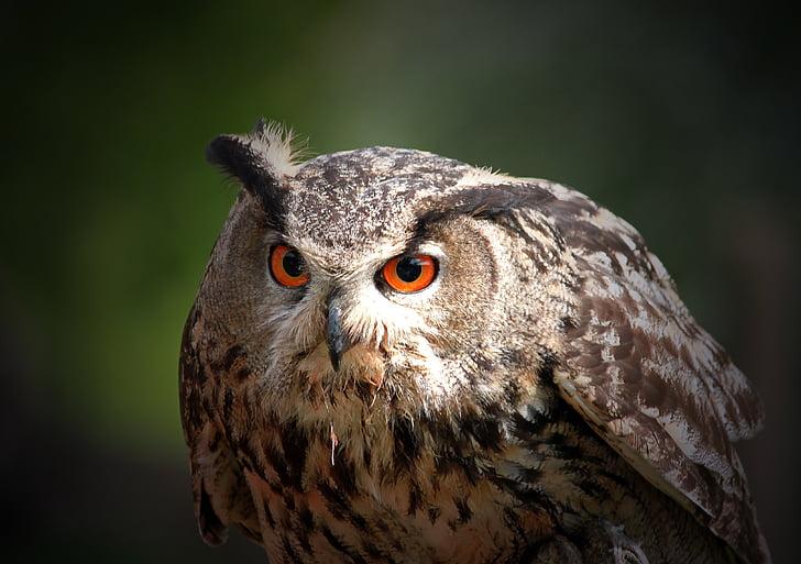 Pöllö, Huuhkaja, lintu, höyhenpeite, valaistu silmät