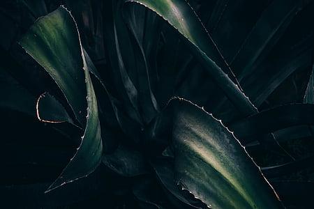 verde, foglie, pianta, succulente