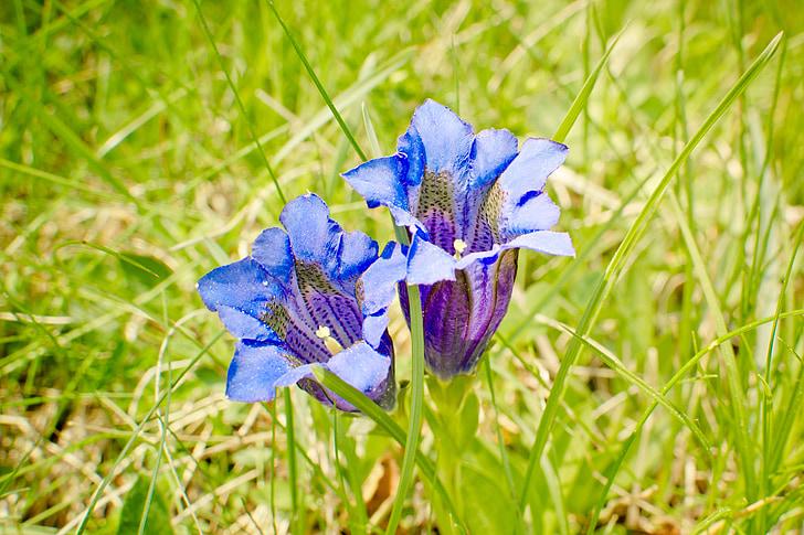 genciana clusius, flor, flor, genciana Alpina, gentians, flor, Prat
