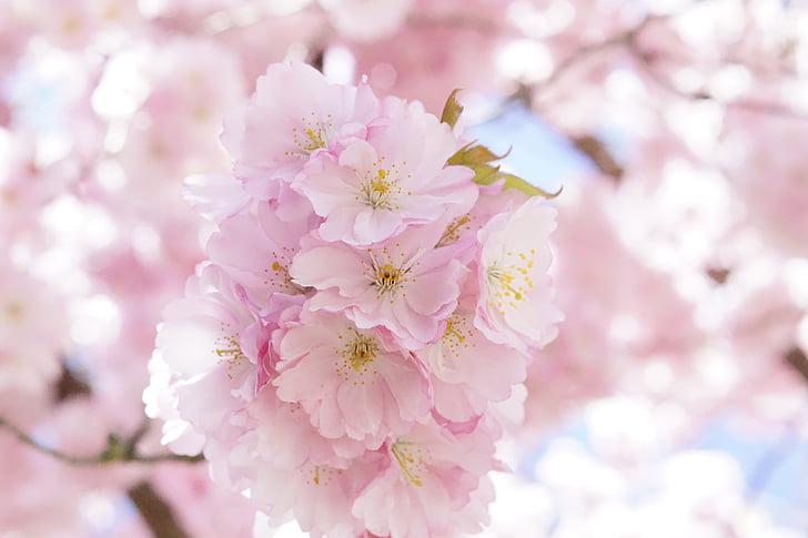 Jaapani Kirsipuud, Dekoratiivne kirss, lill puu, kirsi õis, roosa, õis, Bloom