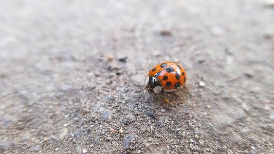bọ cánh cứng, lỗi, côn trùng, Ladybird, bọ rùa, vĩ mô, một trong những động vật
