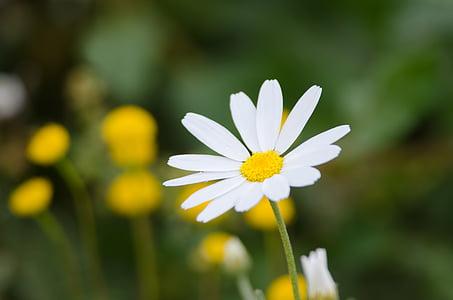 chrysanthemum، flower, white, nature, plant, daisy, flower, summer