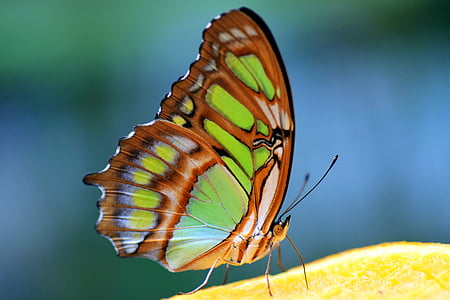 malakiitti, spirotea muistokiveä, perhonen, keltainen, värikäs, vihreä, ruskea