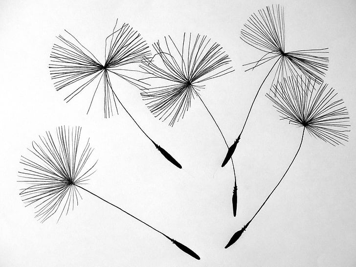 seeds, dandelion, flower, pointed flower, nature, drawing, illustration