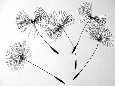 llavors, dent de Lleó, flor, flor punxegut, natura, dibuix, il·lustració