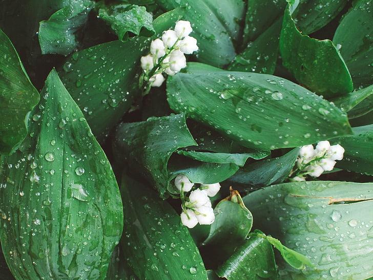 maikelluke, liiliad of the valley, lill, lilled, valge, valged lilled, õrnalt