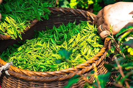 thee, blad, China, groen, theebladeren, kruiden, groene thee