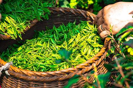 te, fulla, Xina, verd, fulles de te, a base de plantes, te verd