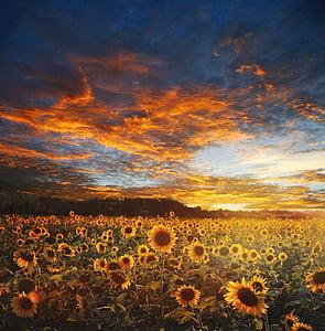 sunflower field, landscape, scene, scenery, nature, sky, sun