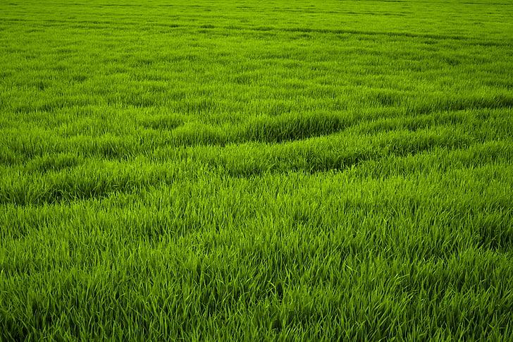 χλόη, πράσινο, Λιβάδι, ζουμερά, Φρις, φύση, χόρτα