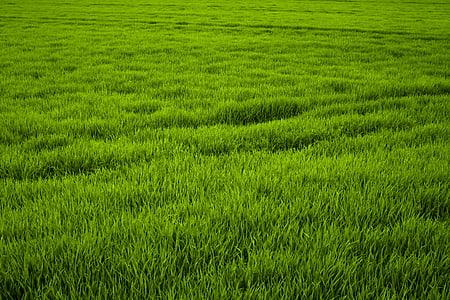 herba, verd, Prat, sucoses, Frisch, natura, gramínies