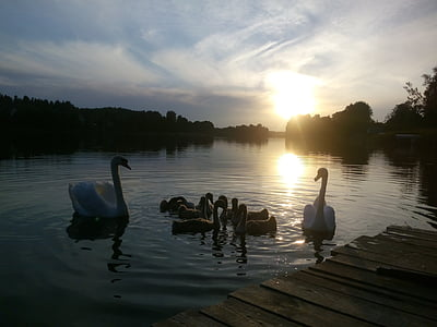 sunset, lake, swans, family, evening, park, water