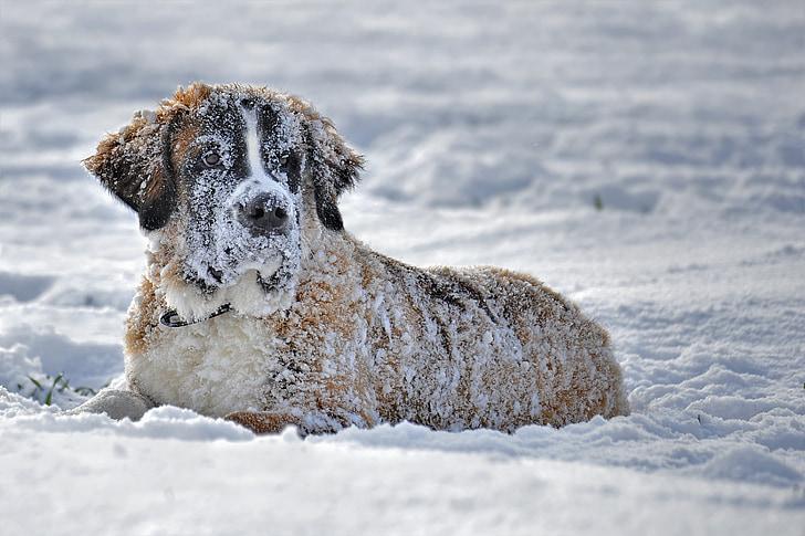 snow, dog, dog in the snow, st bernard dog in the snow, snow dog, winter