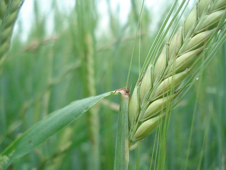 cereals, sègol, blat, pa, natura, Nutrició