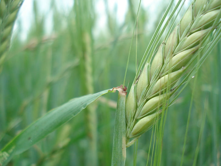 granen, rogge, tarwe, brood, natuur, voeding