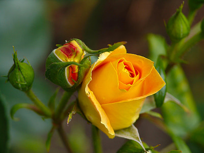 tõusis, loodus, õis, Bloom, kollane roos, roosi aed, lill