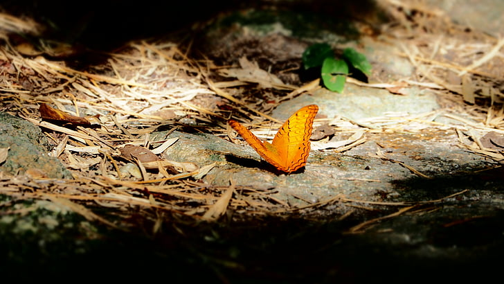 butterfly, pa, insects, orange wings, nature, ground, animals