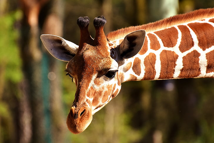 giraffe, wild animal, stains, long jibe, animals, africa, zoo