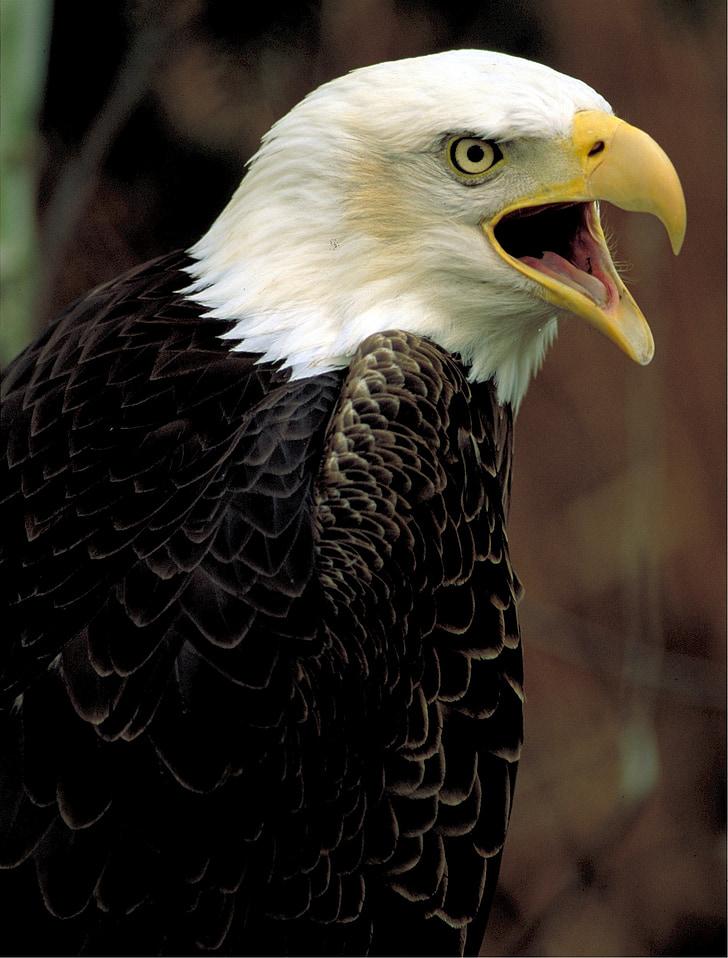 bald eagle, eagle, bald, american, nature, wildlife, raptor
