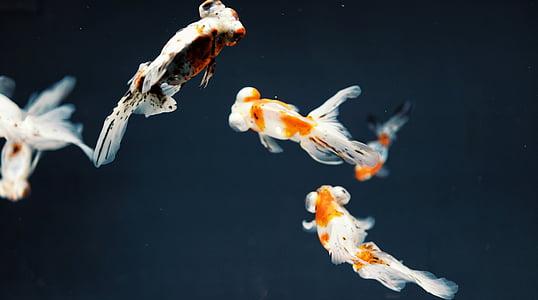 four, white, black, orange, fishes, fish, goldfish
