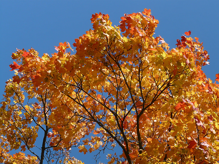 Foto Gratis Pohon Maple Mahkota Musim Gugur Mewarnai Warna