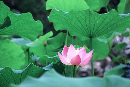 Lotus lístia, Zelená, zobrazení