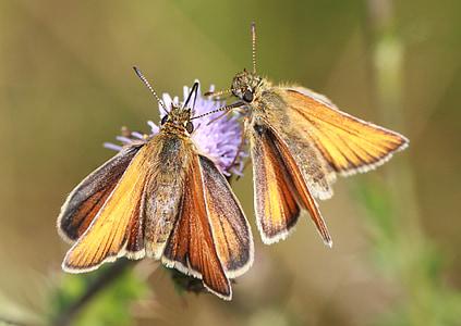 Schipper, vlinders, insect, vlinder, macro, natuur, vlucht insect