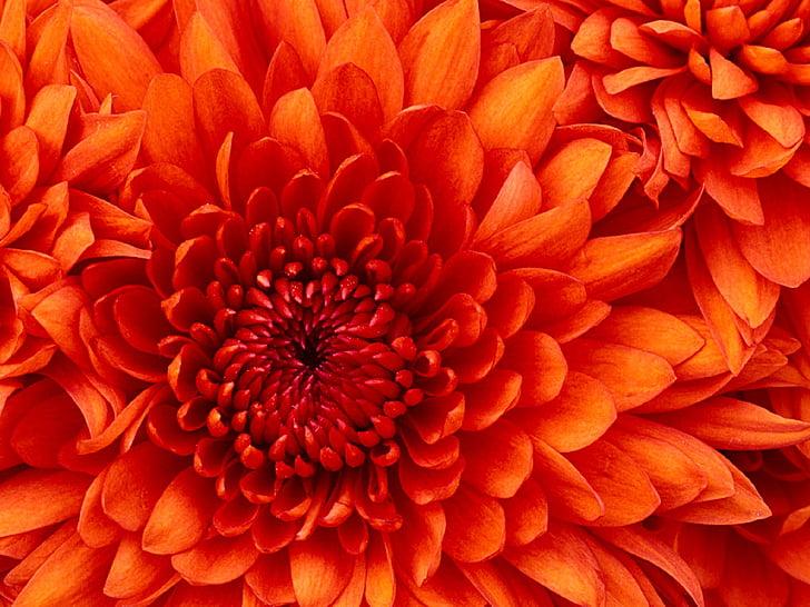 Хризантема, макрос, Блум, Блосъм, флорални, растителна, листенца
