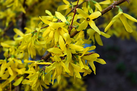 kollane bush, krupnyj kava, lill, kollane, ilus lill, taim, Lähis Joonis