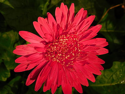 kvet, červená, Zelená, Príroda, lístkov, jar, letné