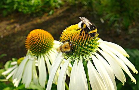 Coneflower, lill, taim, Echinacea, valge coneflower, kroonleht, ravimtaimede