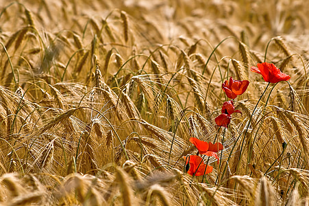 cornfield, klatschmohn, flowers, yellow, red, poppy, poppy flower