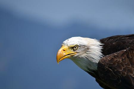 плешив орел, бяла опашка орел, Адлер, птица, Гербът на птица, раптор, САЩ