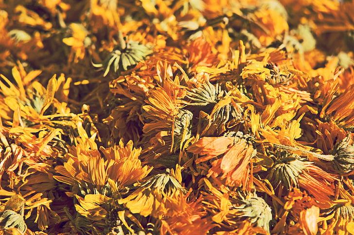 dent de Lleó, flor, s'asseca, planta, groc, natura, herbes medicinals