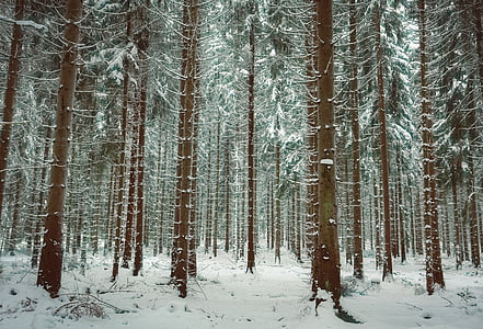 winter, snow, trees, winter forest, wintry, nature, landscape