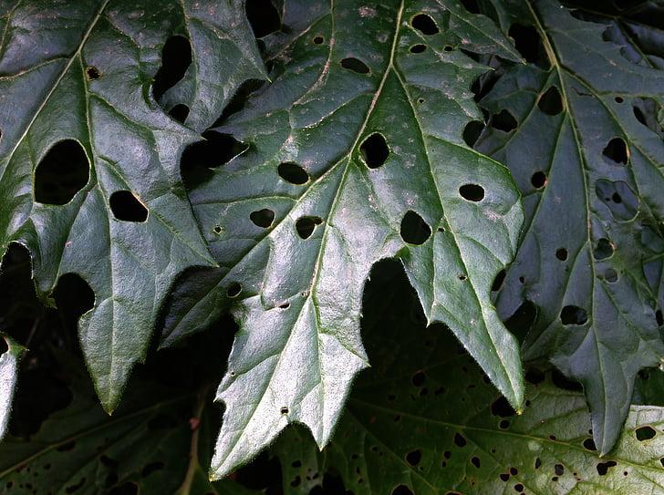 Bodljikara listov, perforirane list, zelena listna, listov