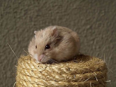hammy, hamster, cat scratch post, tawny, red eyes, cute, rodent