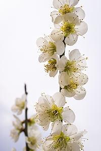 flors pera, flors, natura, plantes, blanc, fusta, primavera