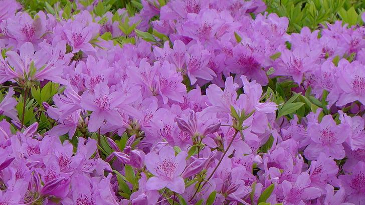porpra, gran flor, flors