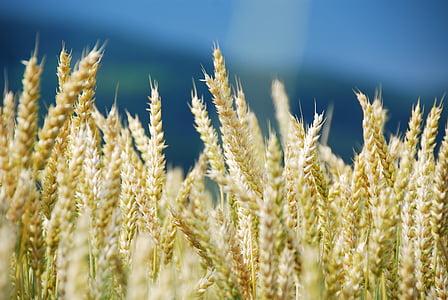 밀, 밀 필드, 시리얼, 옥수수 밭, 조명, 날씨 기분, 조 경