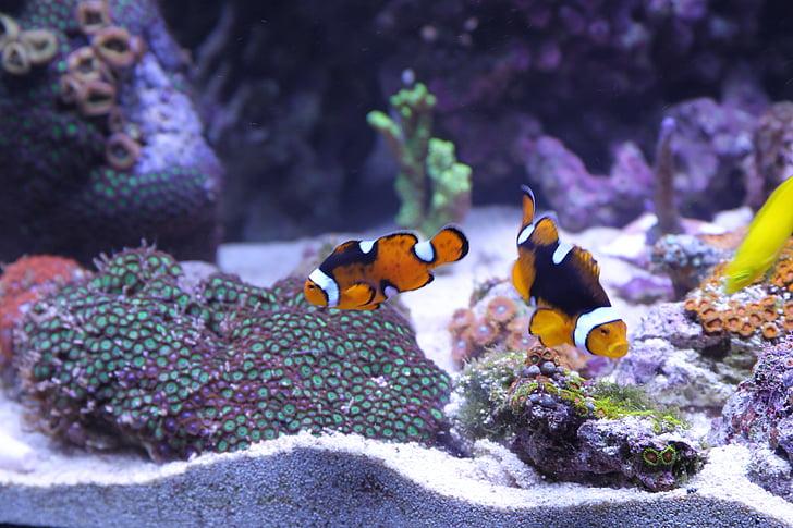 fish, anemone fish, corals, fish tank, aquatic, anemonefish, marine