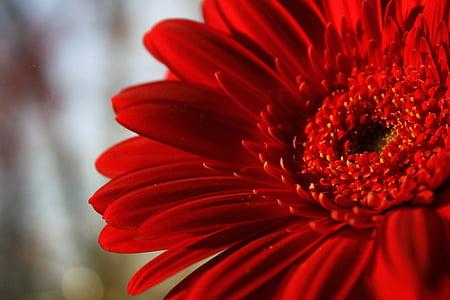flor, Gerbera, flor vermella, la flor escarlata, flor brillant, vermell, macro