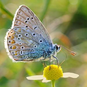 vlinder, argus, insect, macro, bloem, vlinder - insecten, dieren in het wild