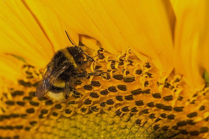Sun flower, kollane, Hummel, putukate, õietolmu compositae, aroom, Puista