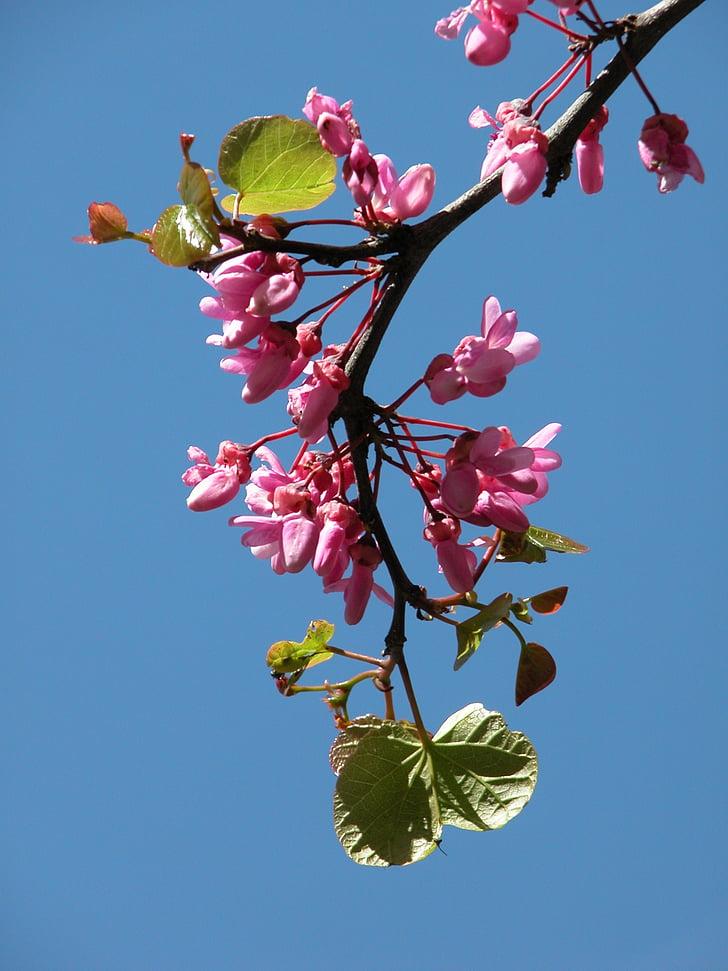 es, flor, jardí, primavera, porpra